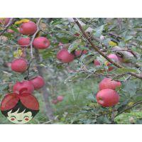 供应云南昭通晚熟苹果全国一件代发10斤包邮丑苹果红富士苹果