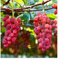 红富士葡萄红富士葡萄树苗红富士葡萄苗