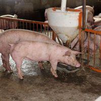 生猪 农民专业生产 生态养殖生猪 三元猪 绿色健康食品