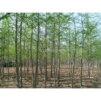 绿化苗木工程银杏树苗2-40cm银杏树苗销售