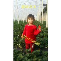 德润草莓苗基地常年供应优质红颜草莓苗规格三叶一心品种100%纯正