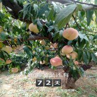 晚熟桃树苗品种晚熟桃树苗价格桃树苗种植