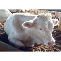 2017年纯种夏洛莱牛多少钱一头|夏洛莱牛大型养殖场
