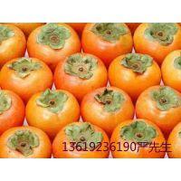 供应陕西大荔优质脆柿子6月黄7月黄基地行情销售批发价格产地