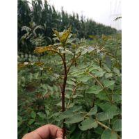 花椒苗种植基地 厂家直销 价格优惠