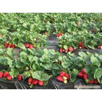 大棚草莓苗价格 法兰地草莓苗基地 地栽草莓苗品种 果树苗价格