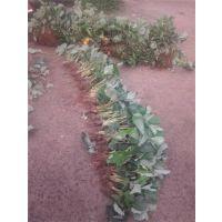 景德镇红颜草莓苗|红丰园艺场|红颜草莓苗哪里价格低