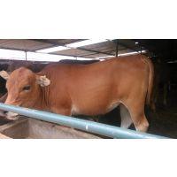 300斤左右的小黄牛多少钱一头