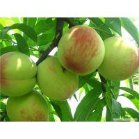 桃树苗新品种哪里有?泰安润佳农业专业果树苗新品种研发 品种纯