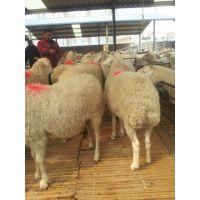 养羊好消息,肉羊价格回升了,养殖波尔山羊小尾寒羊