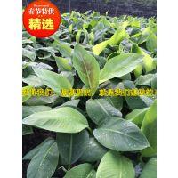 贵州大量供应西贡蕉苗丨威廉斯B6丨 张经理15627536300