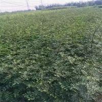山东专业花椒苗基地 高产大红袍花椒苗批发 当年生种苗品种