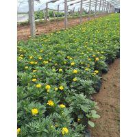 优质孔雀草上市了!!橘红色金黄色欢迎选购—青州向阳花卉供应