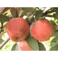 早熟苹果树苗新品种推荐 华硕苹果树苗品种纯正 壹棵树农业批发 成活率99%