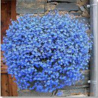垂吊植物/盆栽花卉/蓝花亚麻种子/天蓝色小花/蓝花亚麻种子