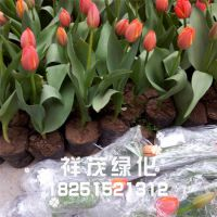 进口球根花卉 郁金香 郁金香种球 室内盆栽花卉 苗木基地直销