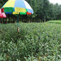 基地直销优质梨树苗 市场潜力大的水果苗 山东梨树苗种植基地