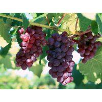 供应专业南方葡萄苗 玉林提子苗 红提苗 黑提 四季葡萄