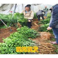 桂林哪里有南丰蜜桔苗卖