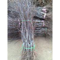 果树苗批发 供应冬枣树苗 大红枣树苗 矮化枣树苗