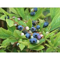 蓝莓苗繁殖|闸北区蓝莓苗|仁源农业科技(在线咨询)