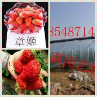 贵州哪里有大棚草莓苗 红颜草莓苗怎么种植