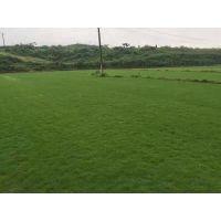 马尼拉草坪价格(草坪多少钱一平米、草皮每平米多少钱)批发价2.5元