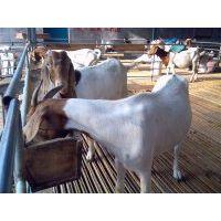 波尔山羊农膜暖棚式羊舍如何建设?嘉祥县顺牧养殖场
