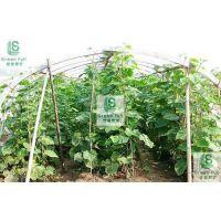 供应绿盛黄瓜网