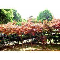 【湖南长沙苗圃直销】乔木红枫树:美国红枫、日本红枫、红枫小苗