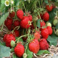 基地常年批发优质草莓苗 脱毒红颜草莓苗价格 林源直销草莓苗