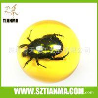 花金龟昆虫标本 昆虫内藏标本 昆虫教学标本 花金龟琥珀