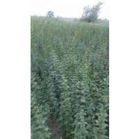 供应连翘树苗、山西药用连翘树苗、两年和一年连翘苗