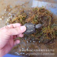 鳄鱼龟 小鳄鱼龟苗 北美小鳄龟 广东鳄龟养殖场批发