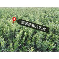湖南常德世纪红果苗 30—70公分嫁接苗 晚熟柑橘苗 蜜橘 果树苗木