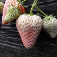 株洲白草莓苗,乾纳瑞农业科技,白草莓苗报价