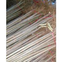 1米高大棚红油香椿基地,红油香椿树苗批发价格