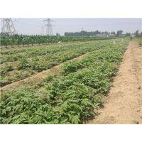 香椿苗的种植方法 泰安润佳农业