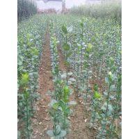低价冬青小苗供应基地,50公分高冬青苗哪里便宜,30公分高冬青苗多少钱
