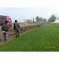 供应河北的草坪种植基地在哪里/河北别墅草坪/高羊茅草坪