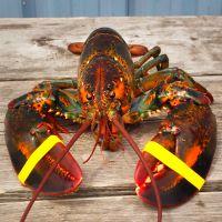 水产鲜活海鲜 美国大龙虾 85元/斤 波士顿龙虾 发活的 560g-790g