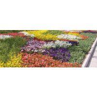 宿根花卉、芳青花卉苗、青州宿根花卉