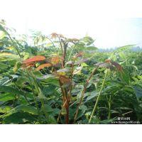 红油香椿苗供应价格 香椿种子种苗批发