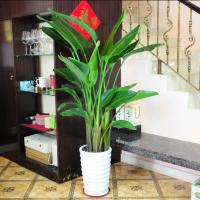 罗湖绿箩发财树室内外花卉绿植专业租赁