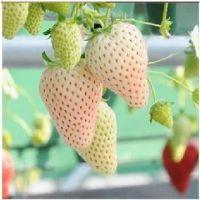 白草莓苗基地批发价格,今年草莓苗装车价格,批发中心电话
