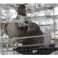 『专业』沈阳鸽子养殖辽宁鸽子养殖