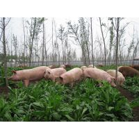 养猪多年生牧草种子哪里有卖的
