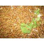 河北黄粉虫邯郸人工养殖黄粉虫技术饲料营养与生长繁殖的关系
