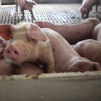 生猪 生态养殖生猪 三元猪 绿色有机食品  天然无公害