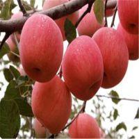 信森农业科技嫁接苹果苗品种 矮化中秋王苹果苗价格 9月份成熟